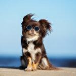 coup de soleil chez le chien